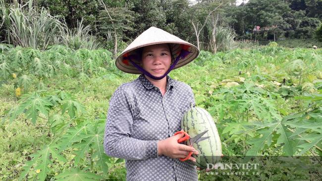 Thái Nguyên: Liều đưa cây ra quả xanh ruột đỏ xuống ruộng trồng, chị nông dân thu hái quả mỏi tay - Ảnh 1.