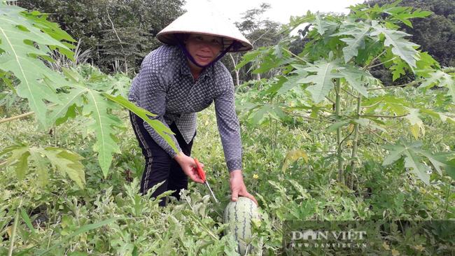 Thái Nguyên: Liều đưa cây ra quả xanh ruột đỏ xuống ruộng trồng, chị nông dân thu hái quả mỏi tay - Ảnh 2.