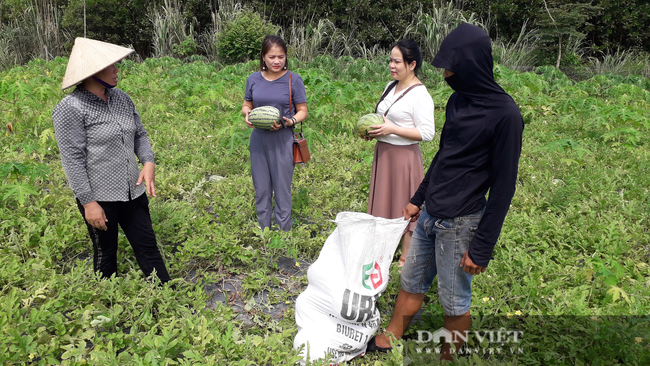 Thái Nguyên: Liều đưa cây ra quả xanh ruột đỏ xuống ruộng trồng, chị nông dân thu hái quả mỏi tay - Ảnh 5.