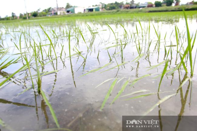 Hà Tĩnh: Ruộng thành sông, hàng nghìn ha lúa chìm trong biển nước - Ảnh 4.