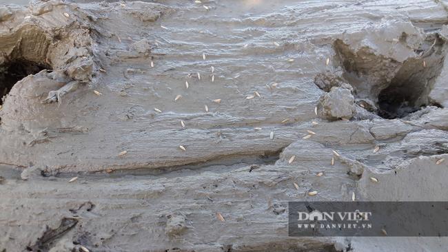 Hà Tĩnh: Nông dân tất bật gieo lại lúa sau ảnh hưởng của cơn bão số 2 - Ảnh 6.