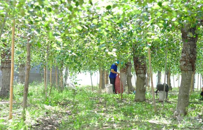 Ninh Thuận: Ở nơi nắng phai màu áo, đất khô cằn, táo, măng tây, nho vẫn cho nông dân thu tiền tỷ - Ảnh 3.