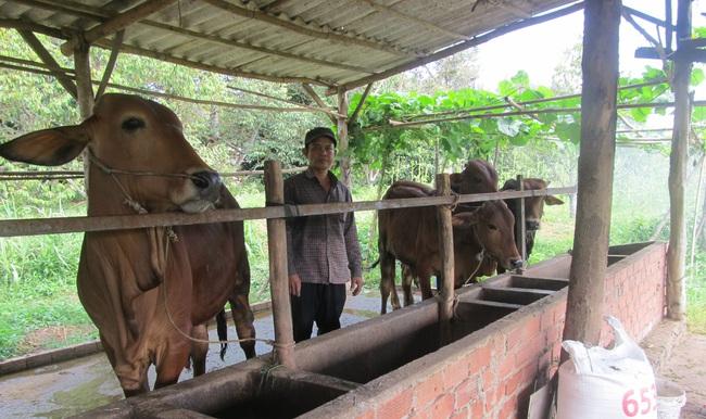 Vay vốn nhỏ nuôi bò to, mỗi lứa thu nửa tỷ đồng - Ảnh 1.