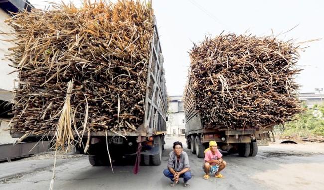 Tài xế chờ tới lượt đưa cây mía của nông dân vào một nhà máy đường ở Thái Lan. (Ảnh: Bangkok Post)