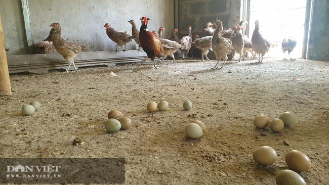 Nam Định: Nuôi loại chim quý mắn đẻ như gà, mỗi tháng bỏ túi hàng chục triệu đồng  - Ảnh 2.