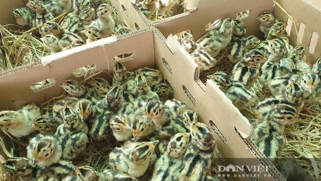 Nam Định: Nuôi loại chim quý mắn đẻ như gà, mỗi tháng bỏ túi hàng chục triệu đồng  - Ảnh 4.