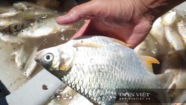 Tiền Giang: Thương loại cá đặc sản miền Tây sắp tuyệt chủng, ông nông dân bắt về ương giống, bất ngờ giàu to - Ảnh 4.