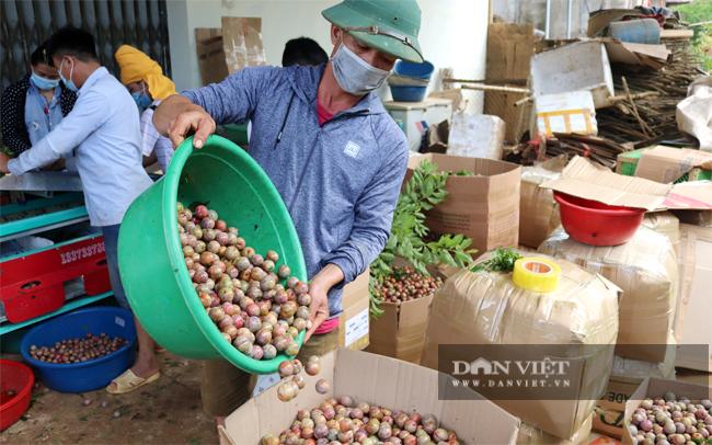 Các vùng trồng mận hậu khắp tỉnh Sơn La đang bước vào đầu mùa thu hoạch. Ảnh Dân Việt