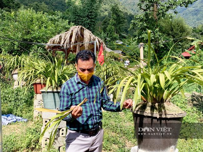 Lai Châu: Người trồng địa lan Trần Mộng mất ăn mất ngủ vì bệnh lạ trên cây   - Ảnh 1.