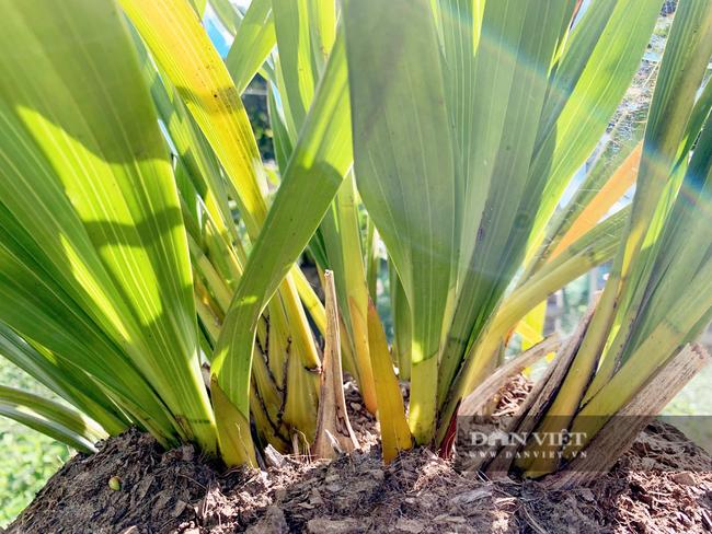 Lai Châu: Người trồng địa lan Trần Mộng mất ăn mất ngủ vì bệnh lạ trên cây   - Ảnh 4.