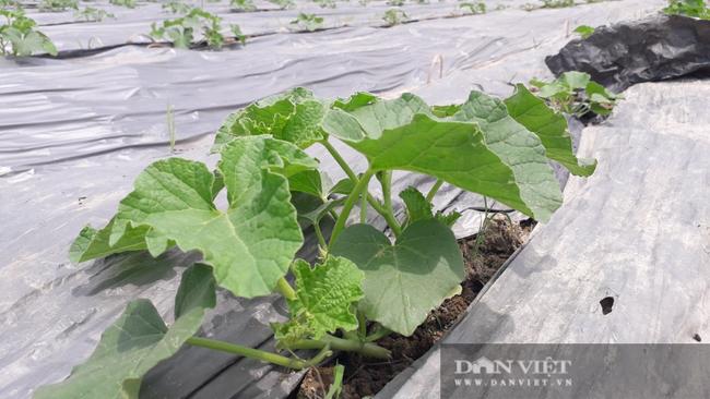 Trồng đủ các loại rau củ quả mùa nào thức nấy, nông dân ở đây khấm khá hơn hẳn - Ảnh 4.