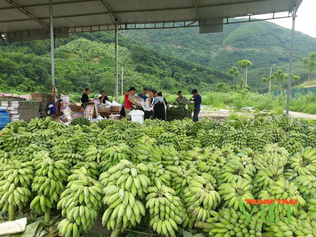 Lai Châu: Trồng chuối trên nương đồi, dân vùng này khấm khá - Ảnh 3.