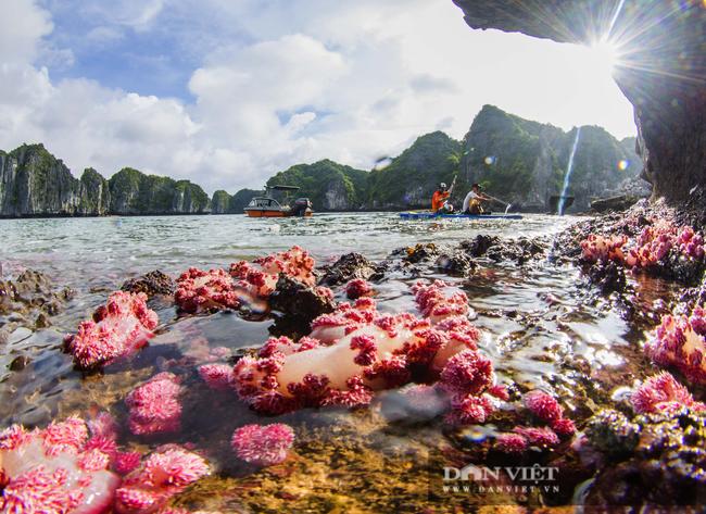 Kỳ ảo rạn san hô đỏ trên vịnh Hạ Long - Ảnh 2.