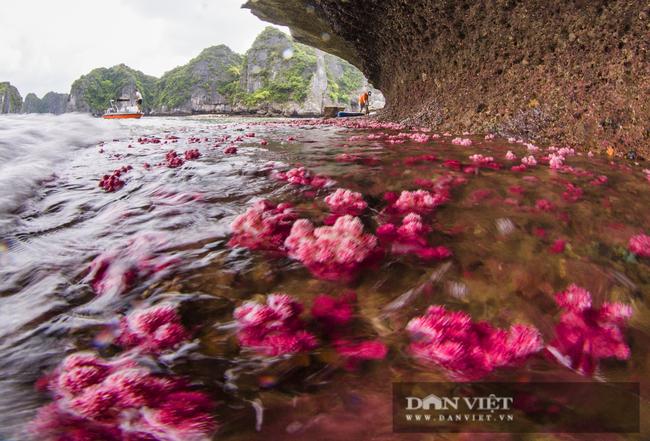 Kỳ ảo rạn san hô đỏ trên vịnh Hạ Long - Ảnh 4.