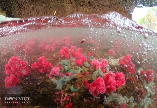 Kỳ ảo rạn san hô đỏ trên vịnh Hạ Long - Ảnh 5.