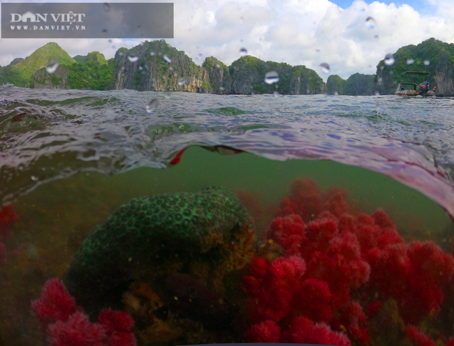 Kỳ ảo rạn san hô đỏ trên vịnh Hạ Long - Ảnh 7.