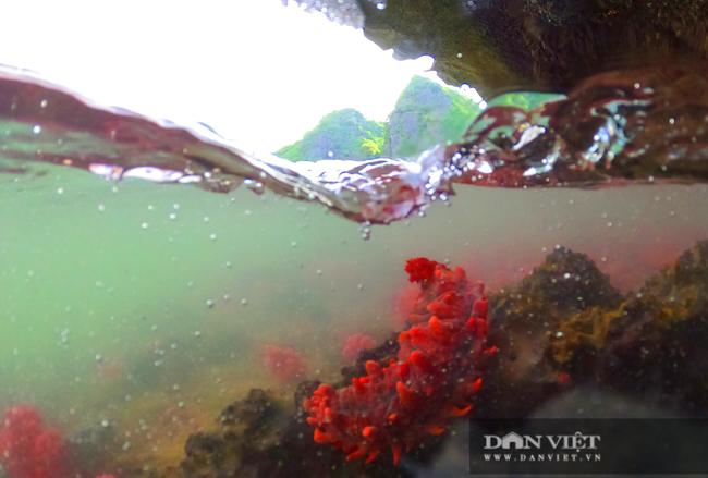 Kỳ ảo rạn san hô đỏ trên vịnh Hạ Long - Ảnh 8.
