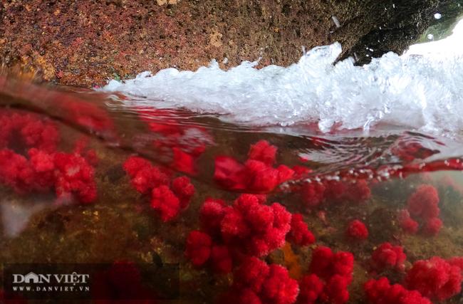 Kỳ ảo rạn san hô đỏ trên vịnh Hạ Long - Ảnh 9.