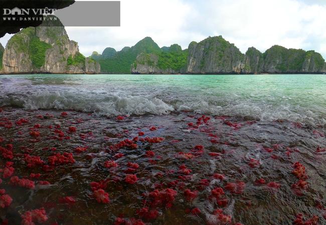Kỳ ảo rạn san hô đỏ trên vịnh Hạ Long - Ảnh 10.