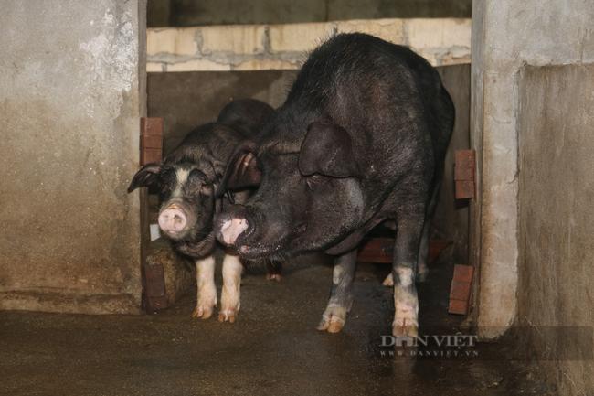 Hà Giang: Nuôi giống lợn đen đặc sản,  - Ảnh 3.