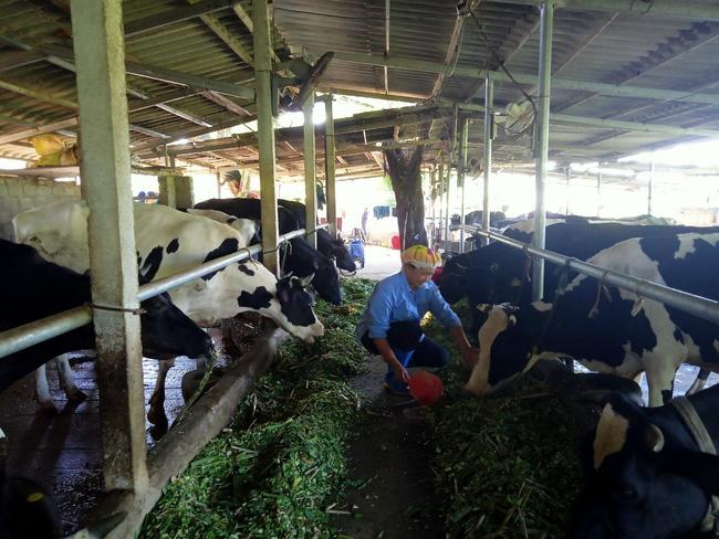 Làm giàu từ chăn nuôi bò sữa - Ảnh 1.