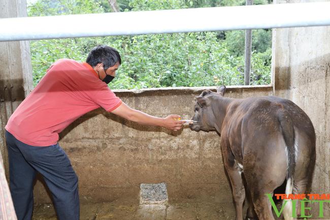 Hà Giang: Huyện Đồng Văn, Mèo Vạc bảo vệ chặt đàn trâu, bò trước dịch bệnh viêm da, nổi cục - Ảnh 2.
