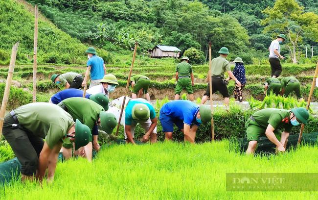 Nghệ  Ann: Các lực lượng tham gia nhổ mạ và cấy lúa giúp dân nơi tâm dịch Chằm Puông - Ảnh 1.