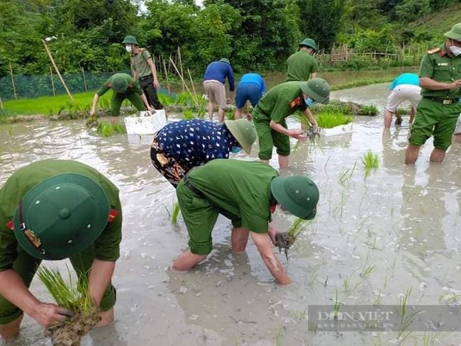 Nghệ  Ann: Các lực lượng tham gia nhổ mạ và cấy lúa giúp dân nơi tâm dịch Chằm Puông - Ảnh 6.