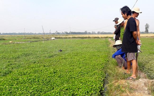 Mô hình trồng rau má trên ruộng kém hiệu quả của nông dân ở xã Vĩnh Thanh, huyện Phước Long. Ảnh Phạm Duy