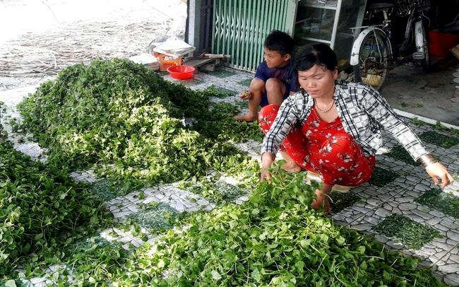 Rau má được nông dân xã Vĩnh Thanh, huyện Phước Long thu hoạch để giao cho thương lái. Ảnh Phạm Duy