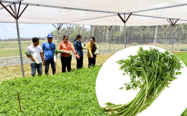 Mô hình trồng rau cần nước trong nhà lưới của ông Dương Văn Vui xã Vĩnh Thanh, huyện Phước Long. Ảnh Lư Trung