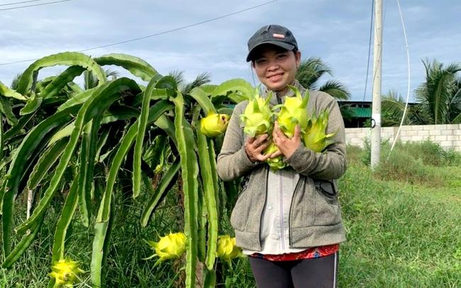 Mô hình trồng thanh long vỏ vàng ở xã Hàm Cường, huyện Hàm Thuận Nam. Ảnh: Hồng Hà.