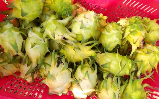 Công ty Hồng Hà thu hoạch trái thanh long vàng lứa thứ 2. Ảnh: Hồng Hà