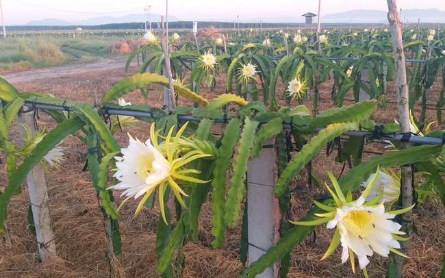Những vườn thanh long bắt mắt, chất lượng trái tươi ngon, mới lạ sẽ là sản phẩm du lịch độc đáo sau khi dịch Covid-19 được đẩy lùi. Ảnh: Hồng Hà