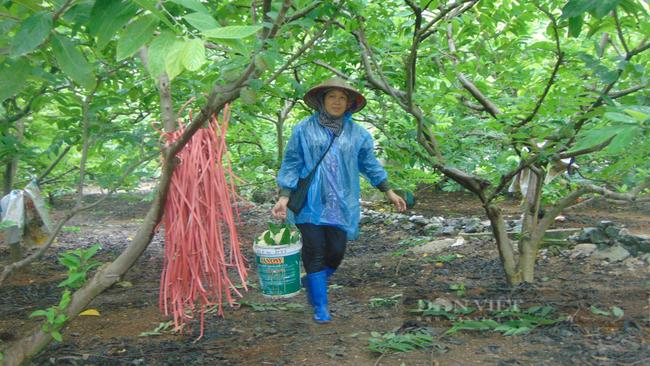 Thái Nguyên hỗ trợ nông dân kết nối tiêu thụ na giữa mùa dịch - Ảnh 1.