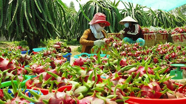 Ngành nông nghiệp bất ngờ khuyến cáo doanh nghiệp điều chỉnh kế hoạch xuất khẩu thanh long sang Trung Quốc - Ảnh 1.
