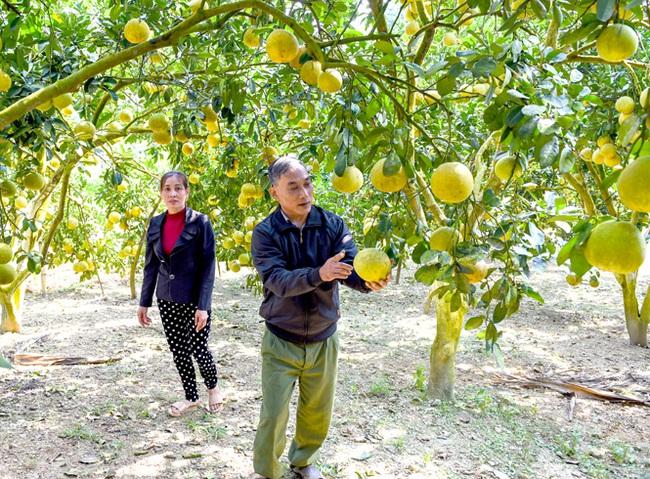 Bưởi đặc sản đem nguồn thu khá đến nông dân Yên Sơn - Ảnh 1.