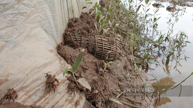 Ninh Bình: Đặc sản dân phố ai cũng thèm, nhưng ở đây lại chạy đầy ngoài ruộng, dùng tay vơ cũng không xuể - Ảnh 4.