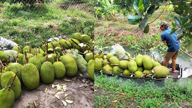 Giá mít Thái hôm nay 1/8: Giá tăng mạnh, có nơi bán được 27.000 đồng/kg, lái mít cố gắng vào vườn gom từng trái - Ảnh 1.