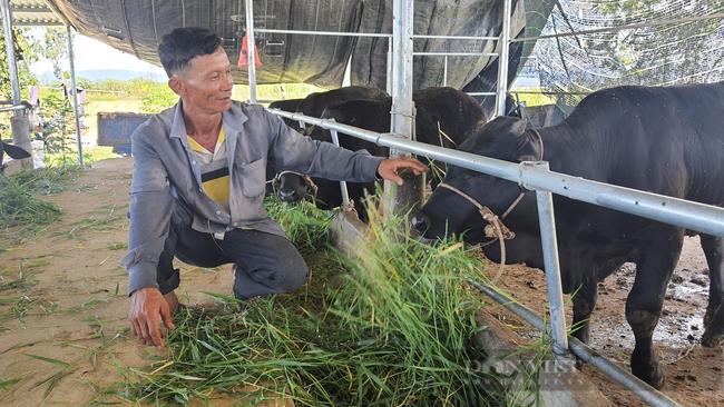 Quảng Nam: 30 năm gắn bó với nghề chăn nuôi, nông dân mới đổi đời nhờ giống bò siêu bự - Ảnh 1.