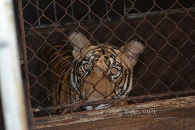 Ngang nghiên nuôi 17 con hổ: Vai trò của công an xã, trưởng thôn, các đoàn thể ở đâu? - Ảnh 3.