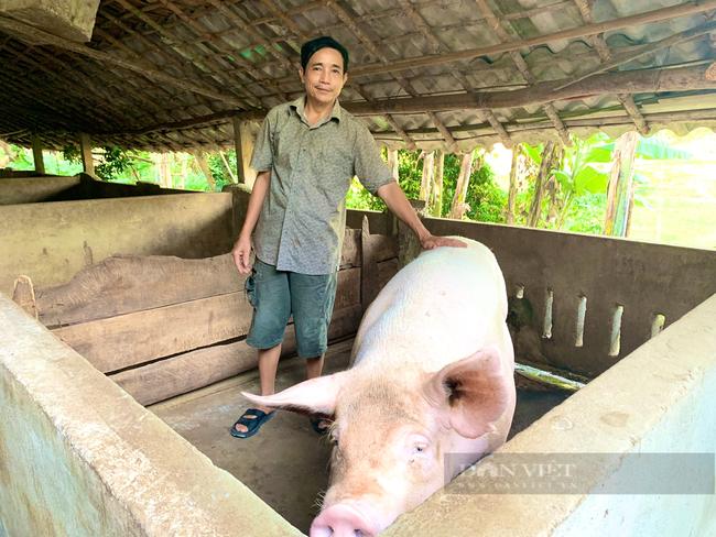 Quảng Bình: Nuôi đàn lợn lãi hơn 700 triệu/năm, nông dân miền núi xây nhà, mua xe hơi - Ảnh 2.