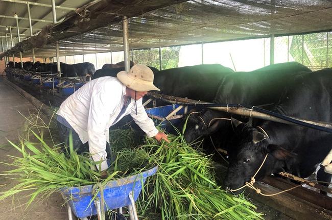 Nuôi đàn bò 3B to bự, nông dân ở nơi này giàu lên trông thấy