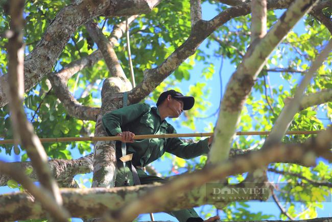 """Nông dân Hà Tĩnh trồng loài cây to như cột đình, quả đen sì giá cao vẫn """"cháy"""" hàng - Ảnh 3."""