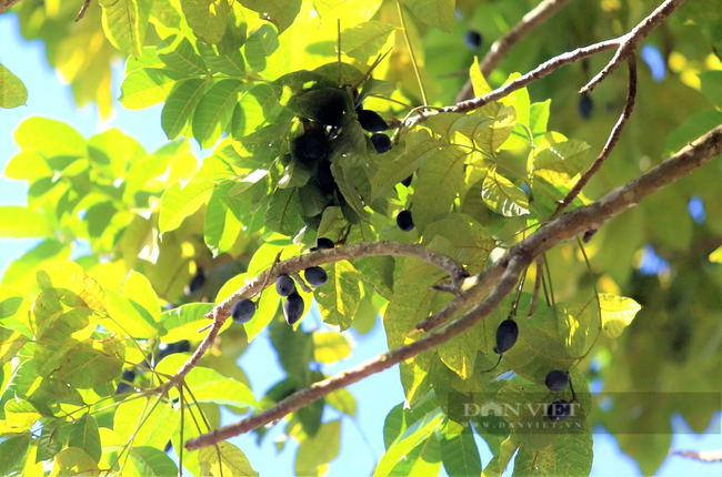 """Nông dân Hà Tĩnh trồng loài cây to như cột đình, quả đen sì giá cao vẫn """"cháy"""" hàng - Ảnh 6."""