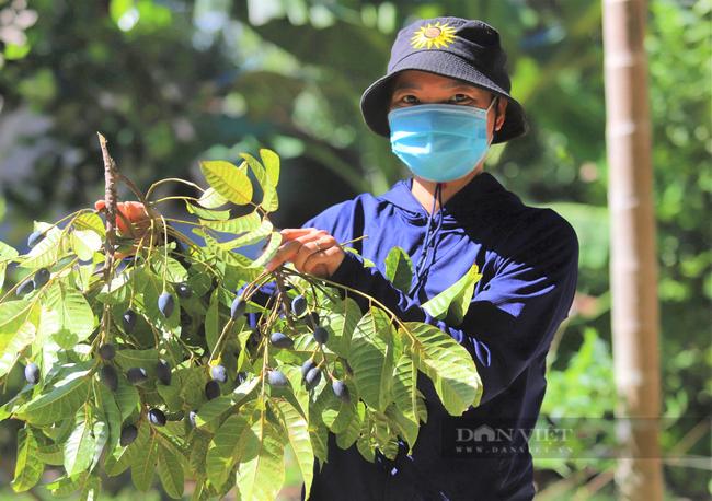 """Nông dân Hà Tĩnh trồng loài cây to như cột đình, quả đen sì giá cao vẫn """"cháy"""" hàng - Ảnh 9."""