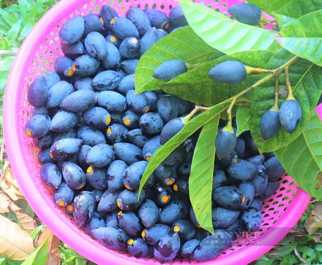 """Nông dân Hà Tĩnh trồng loài cây to như cột đình, quả đen sì giá cao vẫn """"cháy"""" hàng - Ảnh 10."""