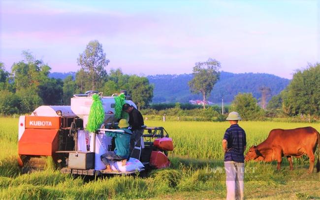 """Nghệ An: Nông dân tự giác phòng dịch, """"áo xanh"""" gặt lúa giúp dân vùng giãn cách xã hội - Ảnh 7."""