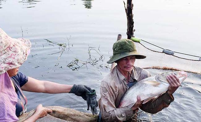Ông Kiều thu hoạch cá trong ao. Ảnh: N.C