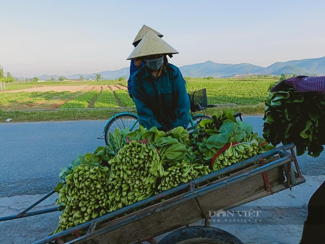 """Nghệ An: Hàng nghìn tấn rau đang """"nằm ruộng"""" chờ đầu ra... - Ảnh 6."""